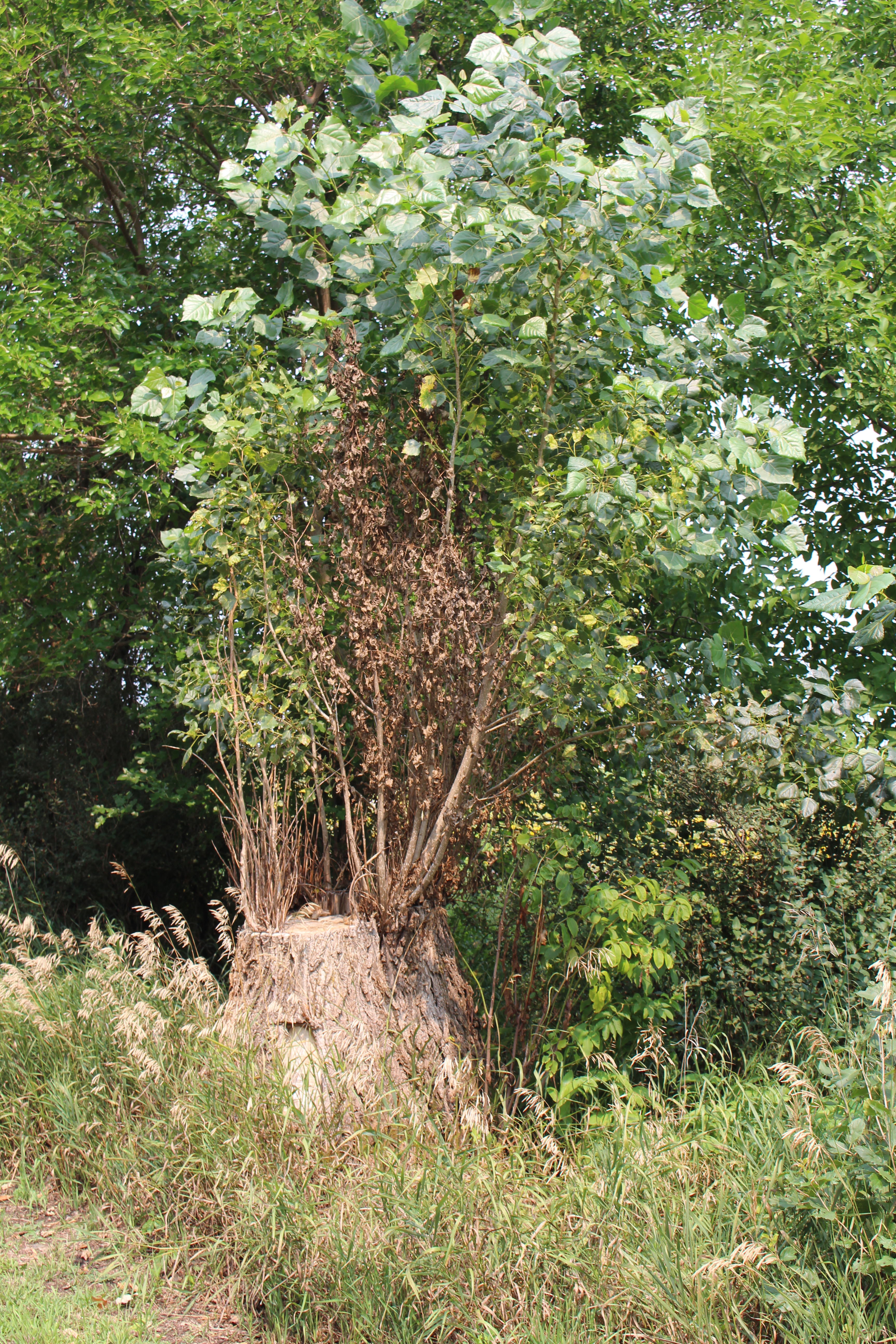 trunk of a tree that has been cut down with sprouts of regrowth